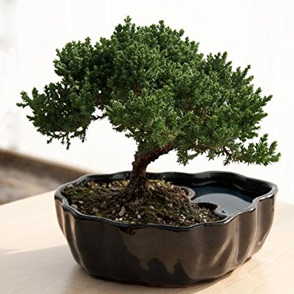 Guide du bonsaï : comment entretenir son bonsai ?